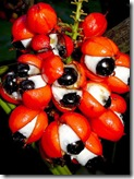 guarana-eyes